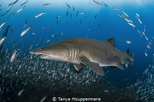 We've Got You Surrounded A sand tiger shark is surrounde... by Tanya Houppermans
