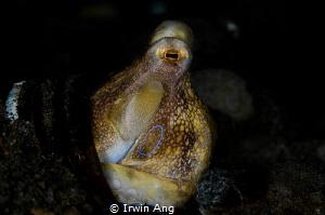 T H E . R I N G Octopus mototi (Amphioctopus siamensis)... by Irwin Ang