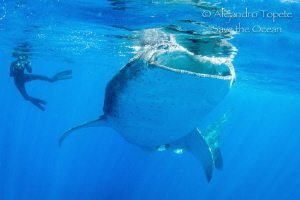 Whale Shark and Photographer, Isla Contoy México by Alejandro Topete