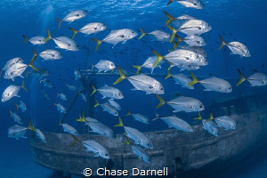"""""""Cyclone"""" A school of Horse-eyed Jacks making moves arou... by Chase Darnell"""