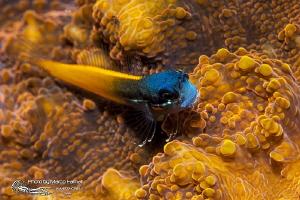 Tiny blue head by Marco Faimali (ismar-Cnr)