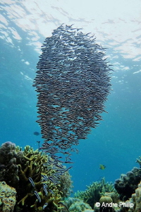 """Vortex of fishes"" - A swarm of engeneer gobys by Andre Philip"