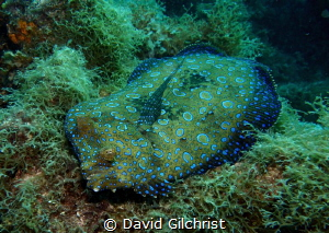 Peacock Flounder on the reef at Alice in Wonderland site,... by David Gilchrist