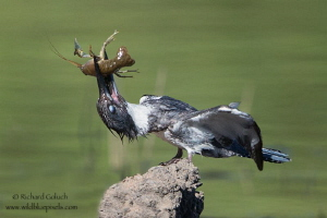 Belted Kingfisher with lunch. by Richard Goluch