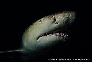 Sneaky but but very active are the Lemon Sharks at night ... by Steven Anderson