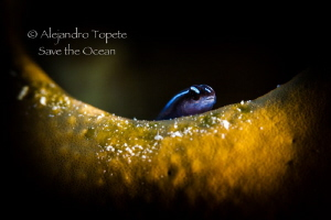 Litle cleaner, Turneffe Island Belize by Alejandro Topete