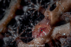 """""""Red Eye"""" A close up shot of a Red Cling Fish. Achieved ... by Chase Darnell"""
