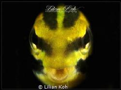 W A Y A N G Blenny by Lilian Koh