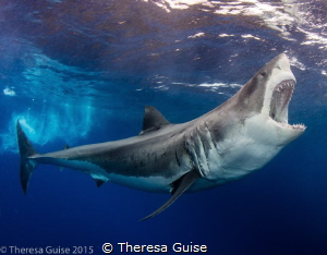 Zapata (aka Bruce) sings for his supper during a shark fe... by Theresa Guise