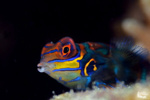 Mandarinfish, Alcoy, Philippines by Daniel Strub