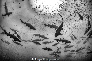 Abundance Sand tiger sharks and bait fish congregate abo... by Tanya Houppermans