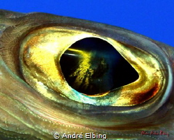 Eye of a Stingfish at Brother Islands, still standing clo... by André Elbing