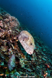 Pufferfish of Gili Meno Island by Philippe Gerber