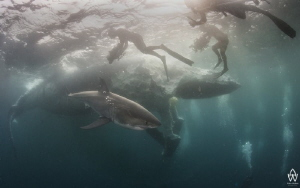 Natural predation of a Humpback Whale carcass by sharks i... by Allen Walker