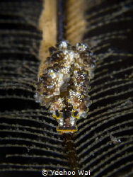 """""""A Trail of Life"""" Doto sp. laying eggs on a hydroid Tul... by Yeehoo Wai"""