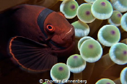 Maroon clownfish (Premnas biaculeatus) by Thomas Bannenberg