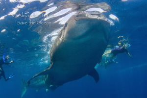 Whale Shark feeding with Divers, Isla Contoy México by Alejandro Topete