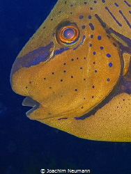 Surgeonfish by Joachim Neumann