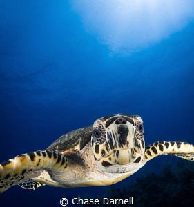 """""""Turtle Face"""" Sometimes the friendliness of the Hawksbil... by Chase Darnell"""