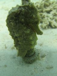 Yellow Sea Horse, Kaneohe Bay, Oahu. (Coconut Island, a.k... by Chris Lawford