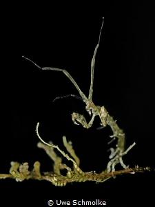 Fightclub - Sceleton shrimp by Uwe Schmolke