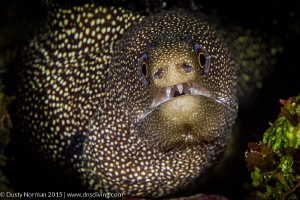 """""""Smile"""" A Golden Tail Moray giving me his best smile. by Dusty Norman"""