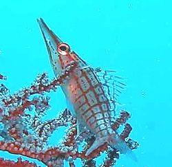 Longnose Hawkfish-Palau New Wall Drop by Martin Dalsaso