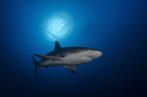 Shark under the sunball by Dmitry Starostenkov