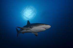 Shark under the sunball by Dmitry Starostenkov