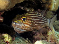 Mouthbrooding tiger cardinalfish by Laura Dinraths