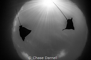 """""""The Globe"""" Eagle Rays dancing in the sun rays. by Chase Darnell"""