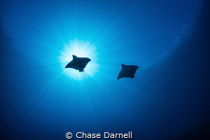 """""""Sky Rays""""  Two Eagle Rays fly overhead on a crystal cle... by Chase Darnell"""