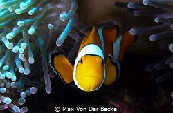 Clown fish / Similan Islands by Max Von Der Becke