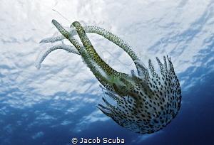 Pelagia noctiluca by Jacob Scuba