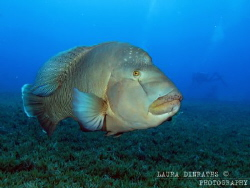 Napoleon wrasse over seagrass by Laura Dinraths