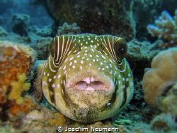 """Dirty"" - Pufferfish by Joachim Neumann"