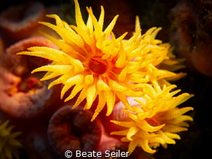 Cupcoral by Beate Seiler