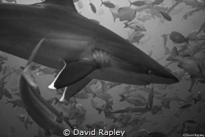 Silvertip shark overhead at a depth of 18m. One of my fir... by David Rapley