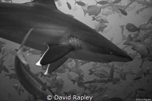 Silvertip shark overhead at a depth of 18m. One of my fir... by David Rapley