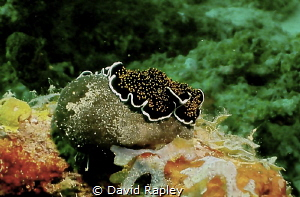 Gold spotted flat worm by David Rapley