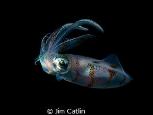 Reef squid by night by Jim Catlin
