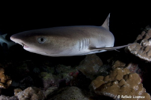white tip shark in night dive by Raffaele Livornese