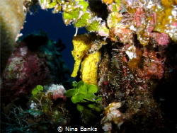 This beautiful Seahorse was taken on Cayman Brac. It stay... by Nina Banks
