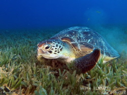 Chelonia mydas, green sea turtle gliding over seagrass by Laura Dinraths
