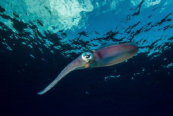Reef squid by Eric Addicott