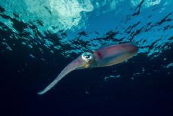 Reef squid by Eric Addicott