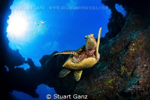 Hawaiian Honu by Stuart Ganz