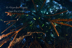 Mangrove, Jade River, Playa del Carmen by Alejandro Topete