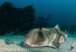 Sydney Winter diving can be a bit chilly at time but ther... by Bradley Kerslake