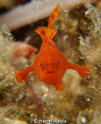 I found this little Frogfish ( about 3mm big) on the Hous... by Marcel Waldis